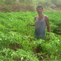 Organically grown Green Chilli – by DKSHA members of Farmers' clubs