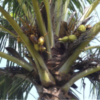 A coconut tree being treated organically for its sickness